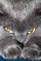 Blue British Shorthair Cat Prepares to Attack Journal