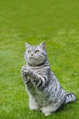 British Shorthair Tabby Cat Journal - Praying or Clapping? You Decide. | Cool Image |