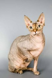 The Canadian Sphinx Cat Journal