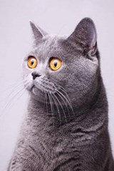 Gray British Shorthair Cat Perks Up - OOPS Spell It Grey Journal | Cool Image |