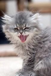 I Am Kitten, Hear Me Roar Persian Cat Journal