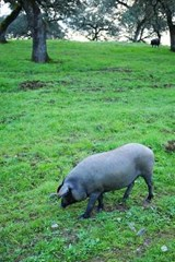 Iberian Pig in a Meadow in Spain Journal | Cool Image |