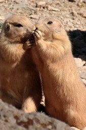 Black Tailed Prairie Dog Pair