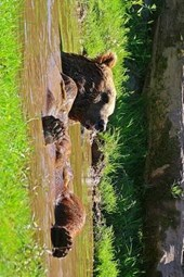 Brown Bear Taking a Bath in a Mud Puddle