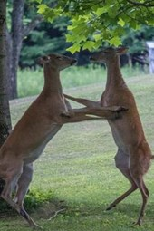 Dancing Deer in the Park