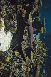 Black Tip Reef Sharks on Patrol
