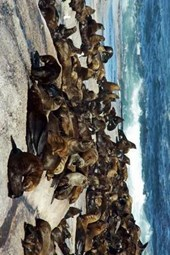 A Huge Gathering of Sea Lions on a Rocky Shore