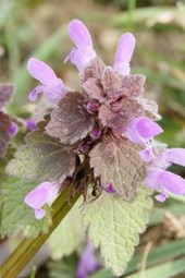Website Password Organizer Dead Nettle Flowers