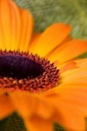 Website Password Organizer Orange Daisy Close Up