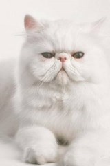 White Persian Cat Seeks Villain for Lap and Petting Journal | Cool Image |