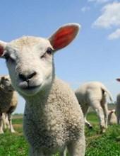 Jumbo Oversized Cute Curious Lamb Investigating the Camera