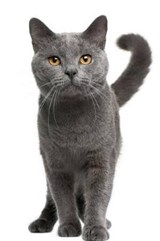 Captivating Chartreux Cat Journal | Cs Creations |