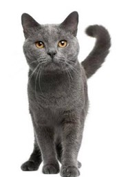 Captivating Chartreux Cat Journal