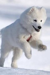 Gorgeous White Samoyed Dog Playing in the Snow Journal | Cs Creations |