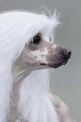 Lovely Chinese Crested Dog Portrait Journal | Cs Creations |