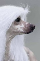 Lovely Chinese Crested Dog Portrait Journal