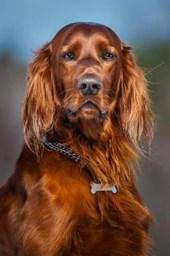 Gorgeous Copper Red Irish Setter Dog Journal