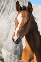 Portrait of a Sweet Bay Foal Horse Journal