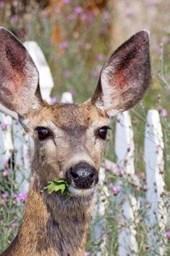 Mule Deer Having a Snack in a Summer Flower Garden Journal