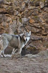 Gorgeous Gray Wolf in Rocky Canyon Journal