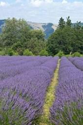 Purple Lavender Flower Fields in Oregon USA Journal