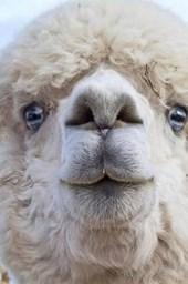 Wonderful White Alpaca Close-Up Portrait Journal