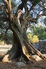 An Old Olive Tree on Pag Island Croatia Lined Journal | auteur onbekend |