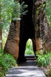 Tree in the Valley of Giants Walpole Western Australia Journal