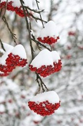 Red Rowan Berries in the Snow Finland Lined Journal