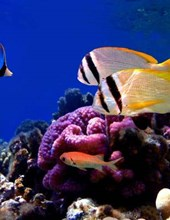 Jumbo Oversized Tropical Fish and Coral in the Ocean