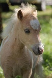 Cutest Shetland Pony Foal Horse Lined Journal