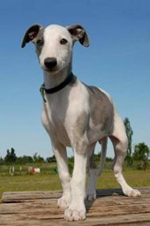 A Whippet Puppy Dog Lined Journal