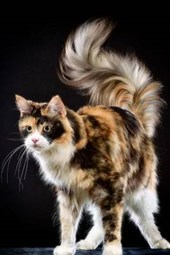 Maine Coon Cat on Black Background Journal