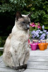 Blue Point Siamese Cat Journal | Cool Image |