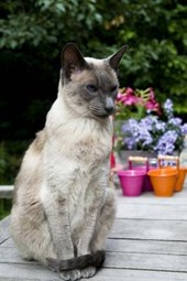 Blue Point Siamese Cat Journal