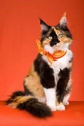 Calico Maine Coon Cat Journal