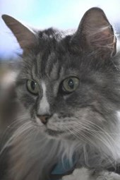 Maine Coon Cat Checking Things Out Journal