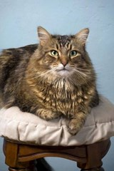 Maine Coon Cat on a Stool Journal | Cool Image |