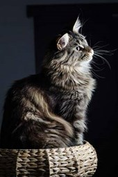 Maine Coon Cat Perched with Dignity Journal