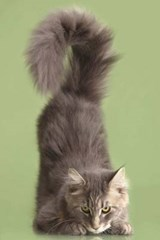 Maine Coon Cat Prepares to Pounce Journal | Cool Image |