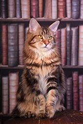 Maine Coon Tabby Cat in the Library Journal