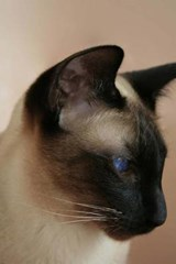 Seal Point Siamese Cat Portrait Journal |  |