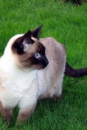 Siamese Cat at Attention Journal