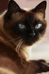 Siamese Cat Checking You Out Journal