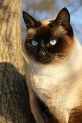 Siamese Cat Enjoys the Great Outdoors Journal