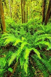 Lush Green Ferns Growing in a Pacific Northwest Forest Journal