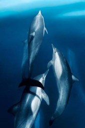 Three Common Dolphins in the Sea of Cortes Baja Mexico Journal