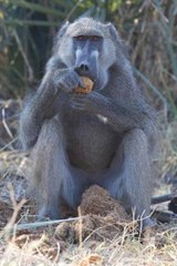 Chacma Baboon Eating Marula Fruit in Botswana Journal | Cool Image |