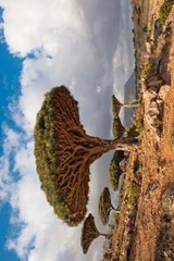 Dragon Trees at Homhil Plateau Socotra Yemen Journal |  |