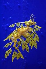 Sea Dragon in a Singapore Aquarium Journal |  |